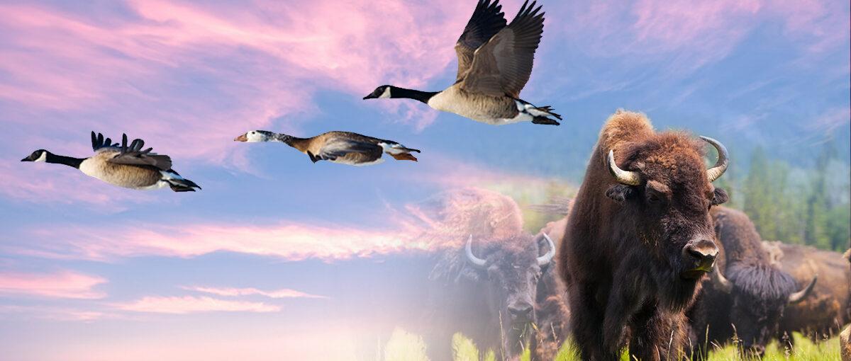 Are You the Head Buffalo or the Lead Goose?